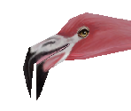 Greater Flamingo Adult