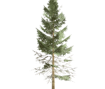 Tall Fir Tree